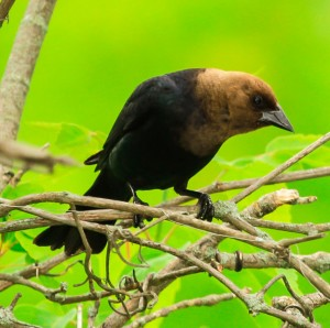 brown-headed-cowbird